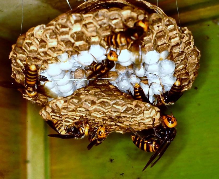 海外 の 反応 スズメバチ