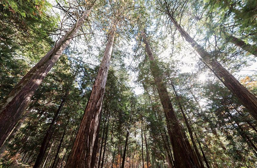 日本三大美林 木曽ヒノキ